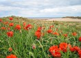 Alnwick Poppies