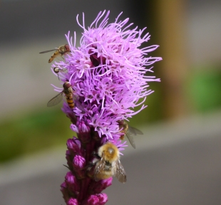 Bumblebee and hoverflies